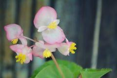 Flor rosada de la begonia Foto de archivo libre de regalías