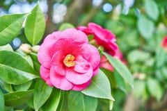 Flor rosada de la camelia imagenes de archivo