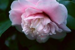Flor rosada de la camelia, flor rosada hermosa con la floración en th Imágenes de archivo libres de regalías