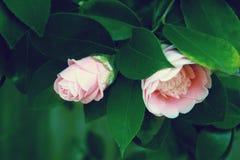 Flor rosada de la camelia, flor rosada hermosa con la floración en th Foto de archivo