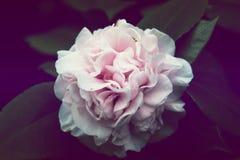 Flor rosada de la camelia, flor rosada hermosa con la floración en th Fotos de archivo libres de regalías