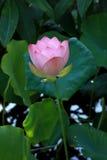 Flor rosada de la charca Fotos de archivo