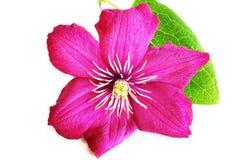 Flor rosada de la clemátide Fotos de archivo libres de regalías