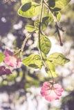 Flor rosada de la correhuela Fotografía de archivo