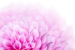 Flor rosada de la dalia Imagenes de archivo
