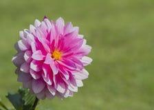 Flor rosada de la dalia Fotografía de archivo