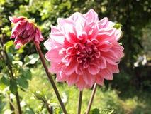 Flor rosada de la dalia Imágenes de archivo libres de regalías