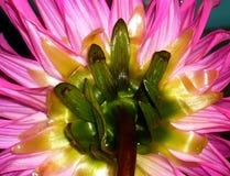 Flor rosada de la dalia imagen de archivo