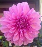 Flor rosada de la dalia foto de archivo libre de regalías
