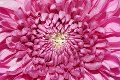 Flor rosada de la dalia Imagen de archivo libre de regalías