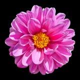 Flor rosada de la dalia aislada en fondo negro Imagen de archivo