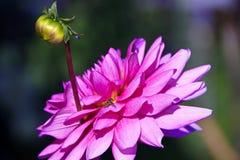 Flor rosada de la dalia con el brote Imagen de archivo libre de regalías
