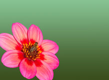 Flor rosada de la dalia con la abeja aislada en el fondo verde, postcar Foto de archivo