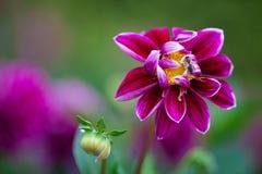 Flor rosada de la dalia en primer de la plena floración Fotografía de archivo libre de regalías