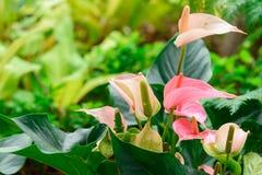 Flor rosada de la espádice, lirio del flamenco, flujo rosado del andreanum del Anthurium Fotografía de archivo libre de regalías
