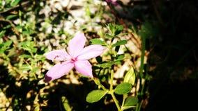 Flor rosada de la estrella imágenes de archivo libres de regalías