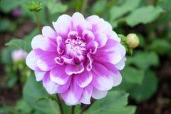 Flor rosada de la floración imagen de archivo