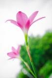 flor rosada de la hierba Imagen de archivo