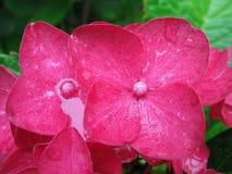 Flor rosada de la hortensia fotos de archivo