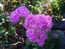 Flor rosada de la hortensia en la caída fotos de archivo