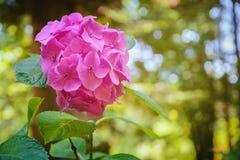 Flor rosada de la hortensia (hortensia) en el arboreto en Sochi Fotografía de archivo libre de regalías