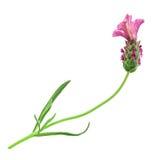 Flor rosada de la lavanda Fotos de archivo