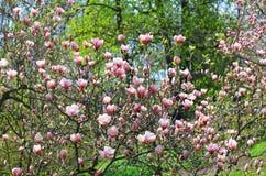 Flor rosada de la magnolia Imagen de archivo
