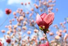 Flor rosada de la magnolia Foto de archivo
