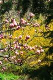 Flor rosada de la magnolia Imagen de archivo libre de regalías