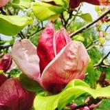 Flor rosada de la magnolia Fotos de archivo libres de regalías