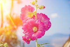 Flor rosada de la malvarrosa hermosa en jardín Fotos de archivo
