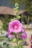 Flor rosada de la malvarrosa hermosa en jardín Foto de archivo