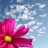 Flor rosada de la margarita Imagenes de archivo