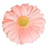 Flor rosada de la margarita Fotografía de archivo
