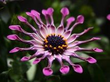 Flor rosada de la margarita africana Foto de archivo libre de regalías