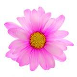 Flor rosada de la margarita aislada Imágenes de archivo libres de regalías