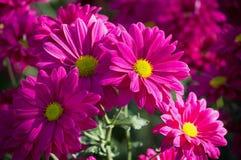 Flor rosada de la margarita de los crisantemos Imagenes de archivo