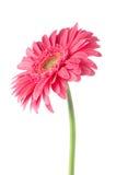 Flor rosada de la margarita del gerbera Foto de archivo libre de regalías