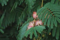 Flor rosada de la mimosa Foto de archivo