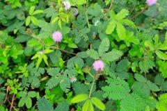 flor rosada de la mimosa en verano fotos de archivo libres de regalías