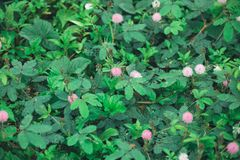 flor rosada de la mimosa en verano foto de archivo