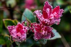 Flor rosada de la montaña, rocío de la mañana Imagenes de archivo