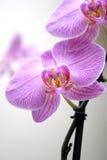 Flor rosada de la orquídea Fotos de archivo libres de regalías