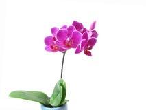 Flor rosada de la orquídea fotografía de archivo