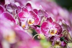 Flor rosada de la orquídea stock de ilustración