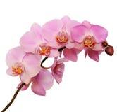 Flor rosada de la orquídea Fotos de archivo