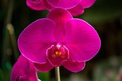 Flor rosada de la orquídea del phalaenopsis Fotografía de archivo