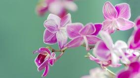 Flor rosada de la orquídea del Phalaenopsis en jardín tropical del invierno o del día de primavera en fondo de la turquesa blur imágenes de archivo libres de regalías
