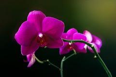 Flor rosada de la orquídea del phalaenopsis en un cierre oscuro del fondo para arriba fotos de archivo libres de regalías
