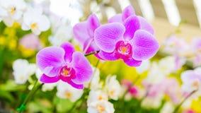 Flor rosada de la orquídea en fondo colorido del bokeh Fotografía de archivo libre de regalías